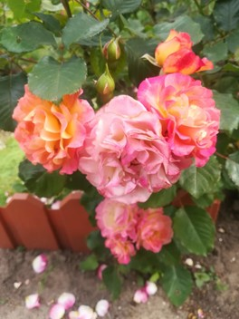 Скучаю по своим розам.