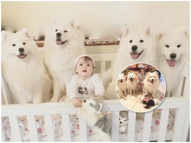 Дружба навеки: будни двух малышей и четырех самоедских собак
