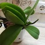 Чем лечить орхидею.